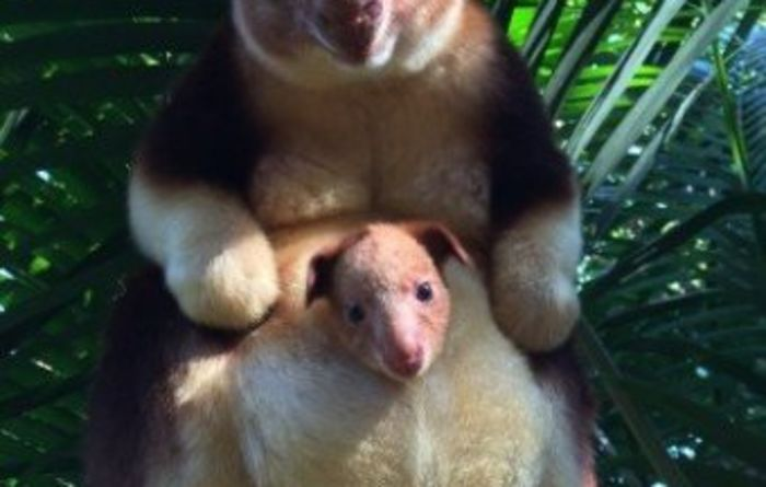PNG tree kangaroo born in Perth Zoo