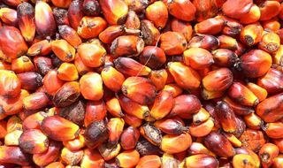 Oil palm opportunity in Sepik